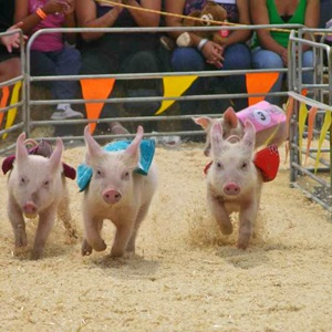 Pig races are fun to watch!