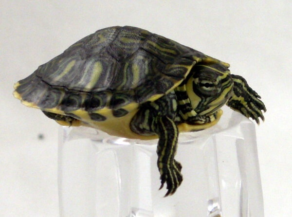 Yellow Belly Turtle.