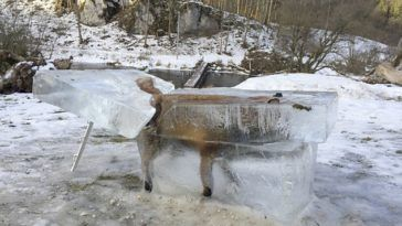 A red fox in the German town of Fridingen, was found encased in blocks of ice after it fell into the Danube river in Baden-Wurttemberg.