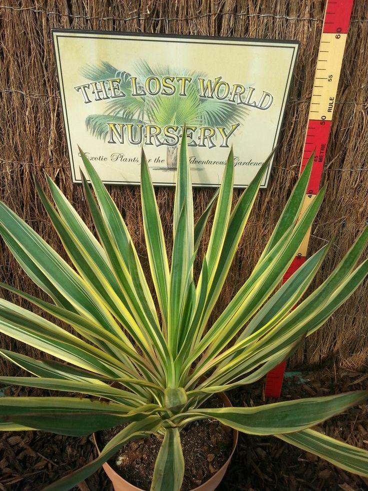 Yucca gloriosa variegata – The Lost World Nursery