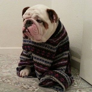 This fellow could've used a pawgarita: | 25 Bulldogs Who Had A Better Ugly Sweater Party Than You Did