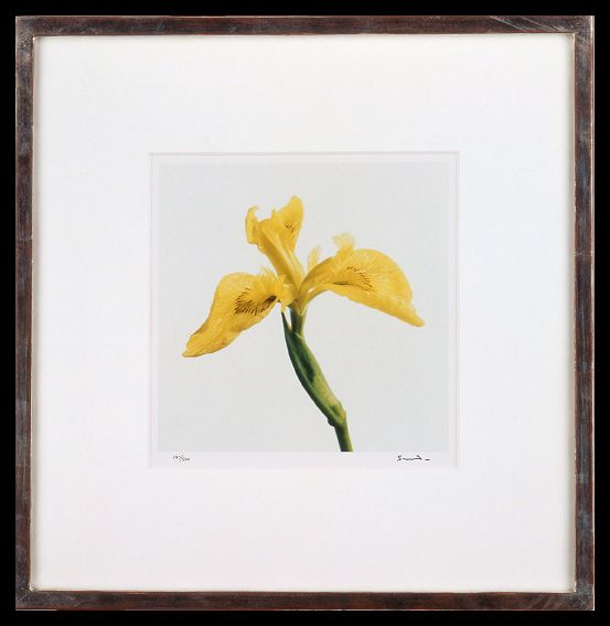 Lord Snowdon | Flag Iris | Limited Edition Photograph, part of a set of 8 | 10 x 8 inches | £1,450 (for the set, unframed)  These photographs come as a portfolio; there are eight photographs in the set. Each image has been signed by Lord Snowdon.