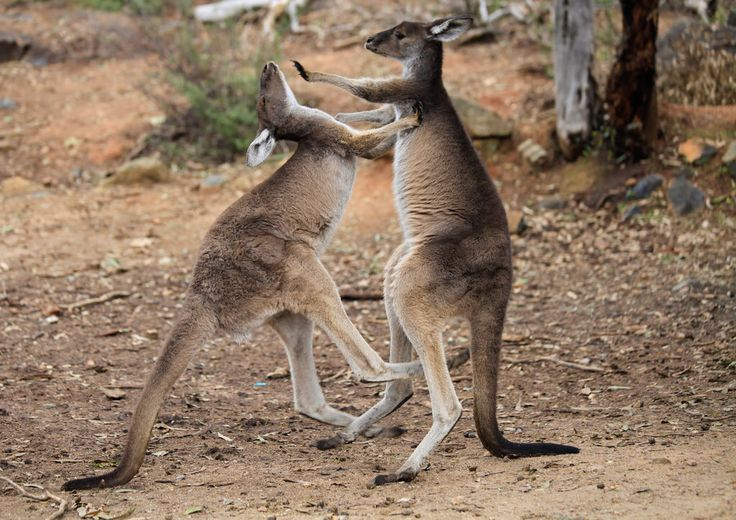 TALK TO THE HAND!!! Western Grey Kangaroo's play fighting, Perth hills. Western Australia. Photography by Marc Russo