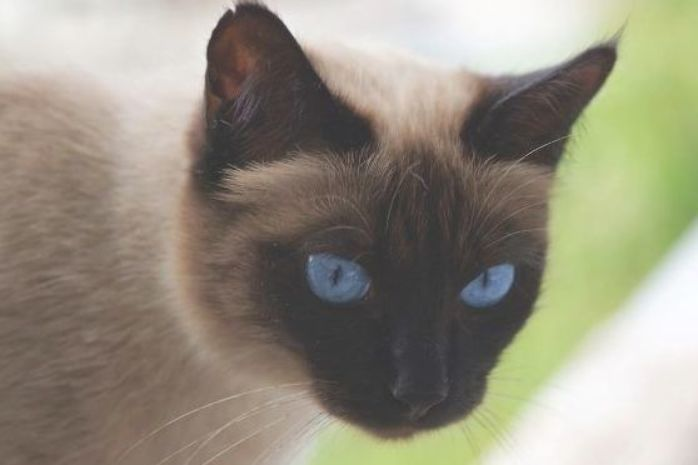 Do You Know How Much Siamese Cats Cost We Are Not Only Talking About The Price We Are Also Talking About The Siamese Cats Bengal Cat Cost Siamese Cats Facts