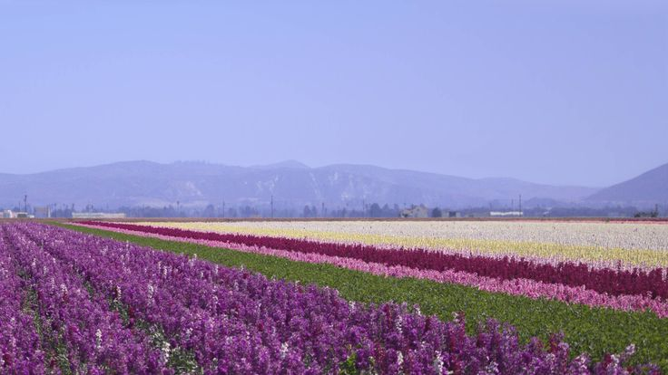 Sea of lavender outside of Lompoc California [OC] [26001463] #reddit