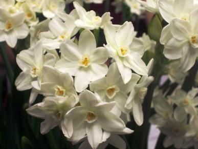 Words can't describe how heavenly these smell! Paperwhite Narcissus Bulbs (Indoor) - Nazareth