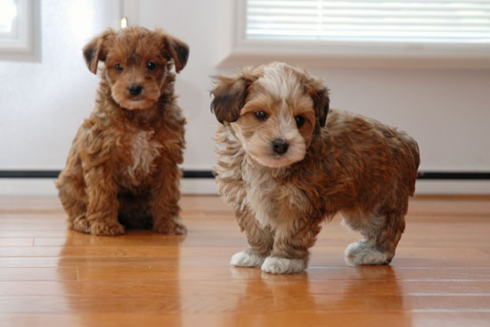 Yorkie Poo puppies - need to mate Teddy with the toy poodle next door!