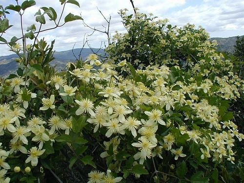 Chaparral Clematis (Clematis lasiantha) CA Native, no summer water