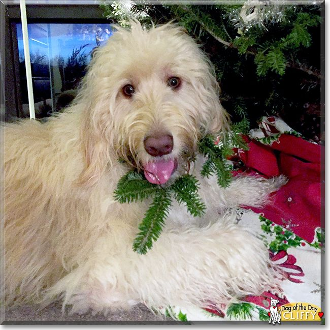Cliff the Golden Retriever, Poodle mix, the Dog of the Day