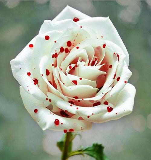 Red and White spotted rose