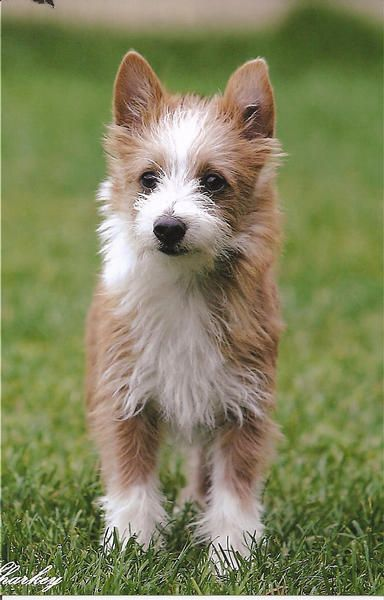 Portuguese Podengos Pequenos Wire Coat-lively, alert, playful; charming and well mannered around the house.-