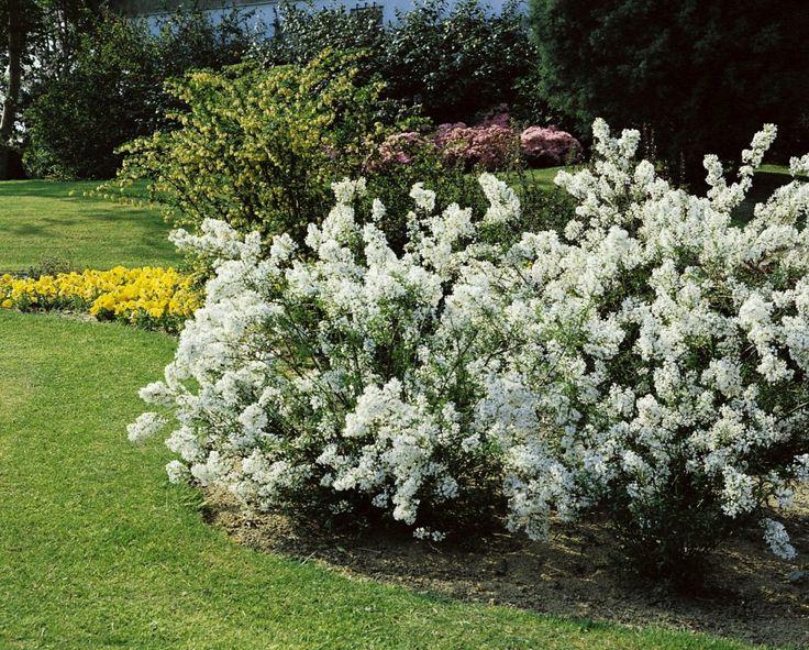 die besten 25 pfeifenstrauch ideen auf pinterest jasmin pflanze dilettant und hydrangea. Black Bedroom Furniture Sets. Home Design Ideas