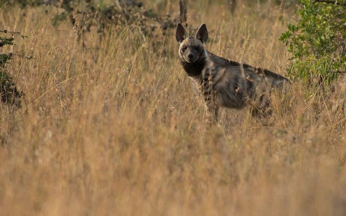 Very rare sighting of a striped hyaena at Segera Retreat #Kenya #safari