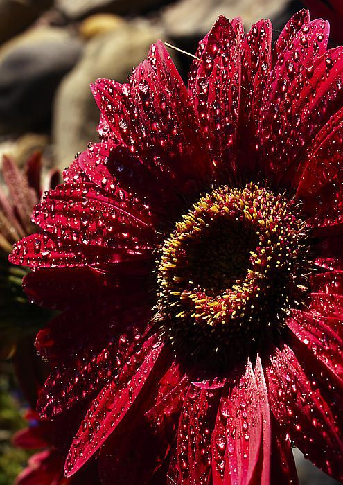 78 Best Burgundy Wine Deep Rose Aubergine Merlot Color