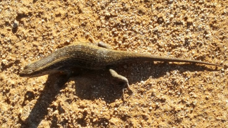 Phil Moore @pjm56tw May 13  Awesome skink spotted in the the Namib desert today #Namibia #Africa #Commonwealth pic.twitter.com/rPGf8L8Sh0