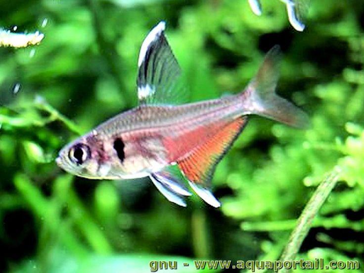 Les 25 meilleures id es de la cat gorie poisson tetra sur for Poisson tropicaux eau douce