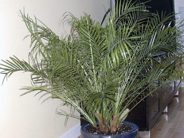 Вайи финиковой пальмы