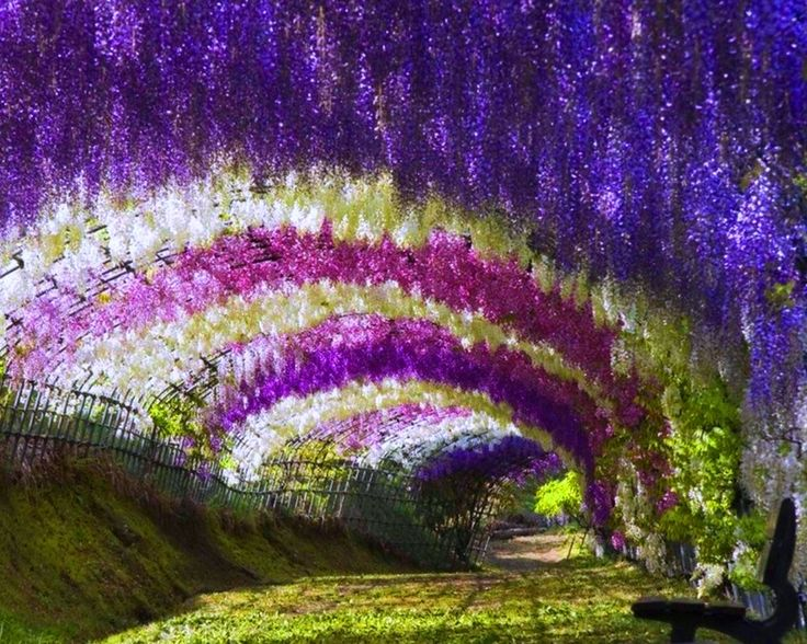 A wisteria tunnel in the Kawachi Fuji Garden in Japan. Stunning.