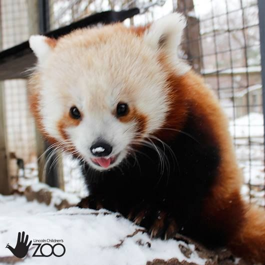 Snow Day for Red Panda Twins