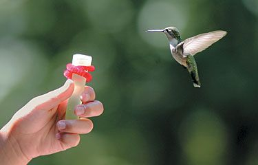These simple tips will have hummingbirds feeding out of your hand in no time.