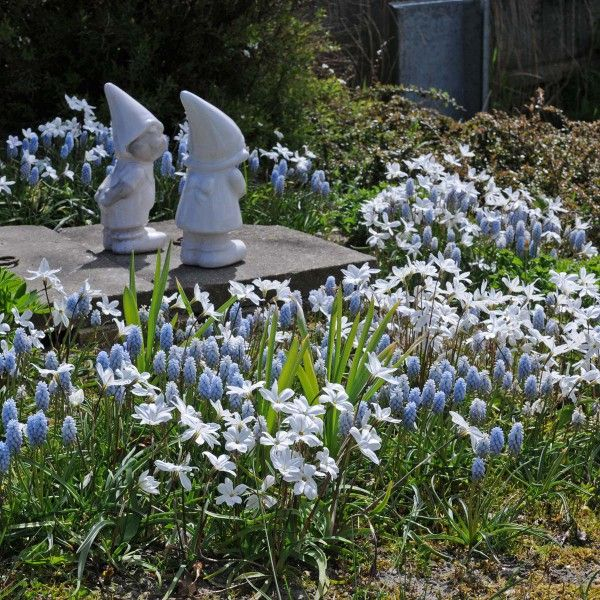 Der weiße Frühlingsstern Ipheion 'Alberto Castillo' kombiniert mit der hellblauen Traubenhyazinthe Muscari Baby's Breath – ein absoluter Geheimtipp! Pflanzzeit ist im Herbst - online erhältlich bei www.fluwel.de
