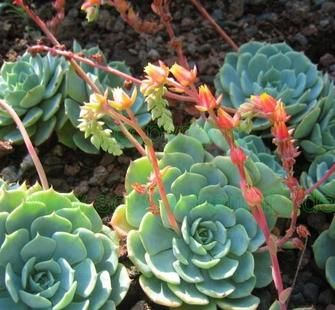 Hens and chicks echeveria imbricata good border plant for Succulents that do well in shade