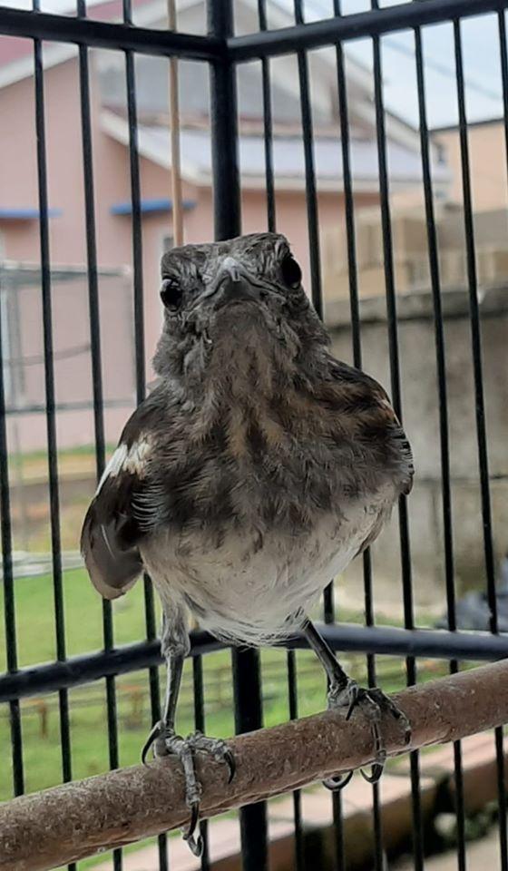 Suara Burung Terkuku