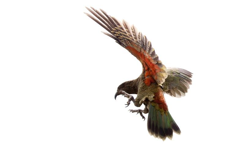 Kea - New Zealand's native alpine parrot.