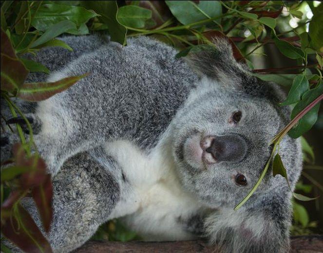 Best Koala Bear Chubby Adorable Dog - 7cf2bd5f5a848697db0760f1691d02d3--koala-bears-teddy-bears  Trends_455342  .jpg