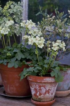 Pelargoner passar extra bra i lerkruka. Klarar torka, men mår bäst av jämn vattning och dricker mycket sommartid. Avlägsna vissna blommor så blommar den snällt hela sommaren. Finns otroligt många sorter, färger, storlekar. Kan övervintras inomhus mörkt, lätt att ta sticklingar av.