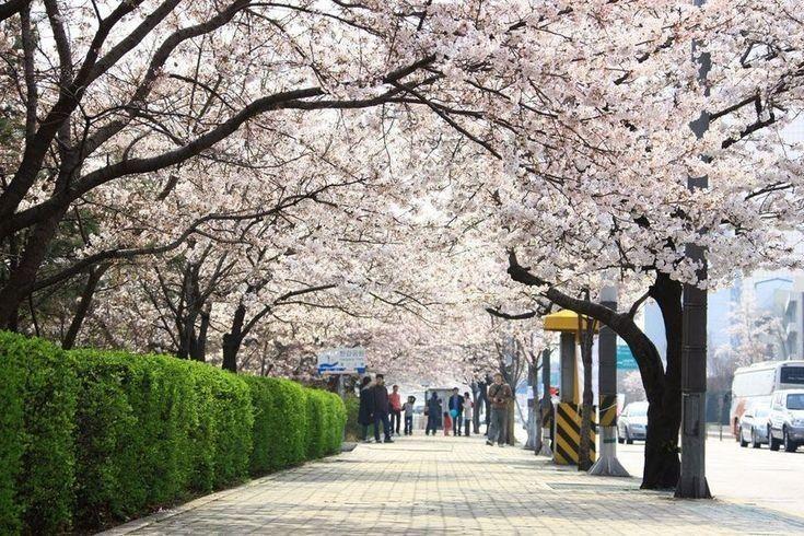 Pin Oleh Btsjiminarmy Di Otro Cel Bunga Sakura Pemandangan Fotografi Alam