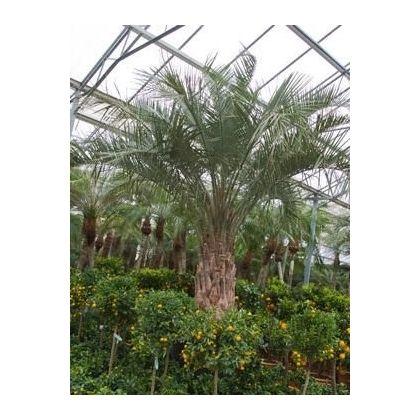529 best plantes images on pinterest plants decks and for Plante palmier
