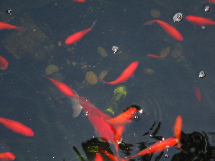 17 best images about koi on pinterest gardens fort for How much are koi fish worth