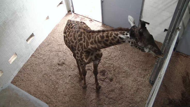 EarthCam - Giraffe Cam