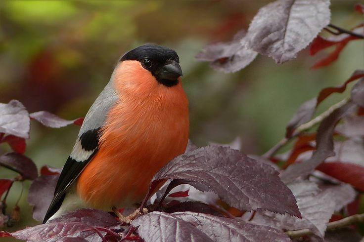 Dompfaff, Vogel, Sitzend, Baum, Garten