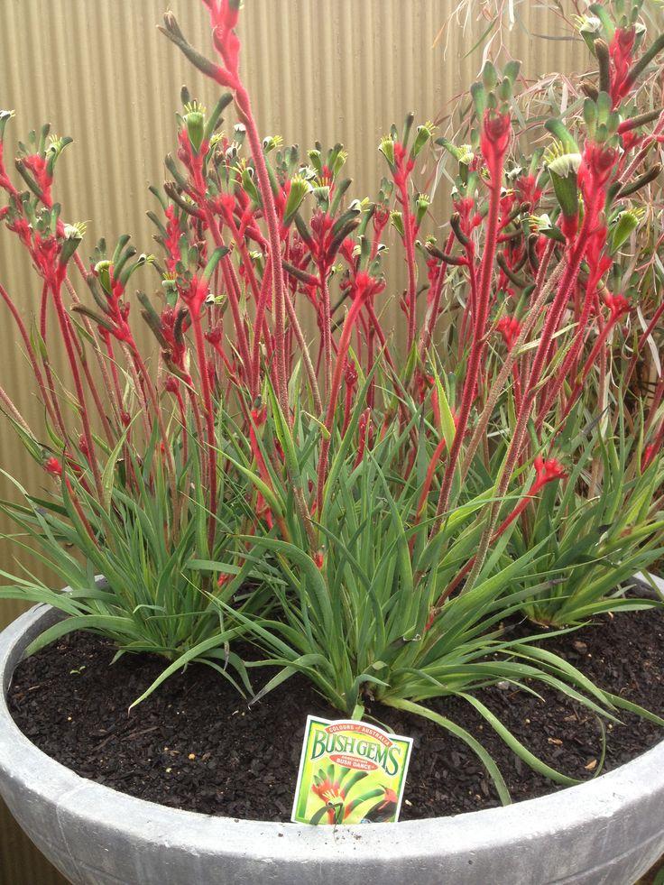 kangaroo paw plant care instructions