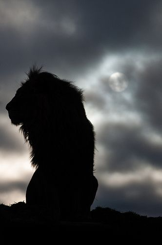 The silhouette of a lion as he awaits the morning's wakeup call.: