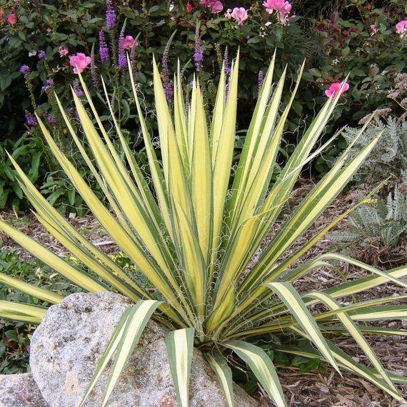 Yucca filamentosa VARIEGATED ADAMS NEEDLE YUCCA Seeds!