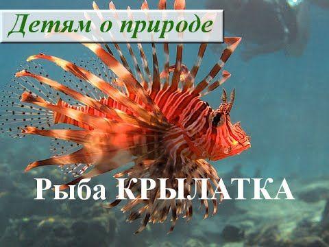 Рыба КРЫЛАТКА в Красном море. Рыба-зебра. Полосатая крылатка. Рыба-лев