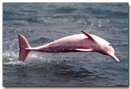 Delfin rosado, Rio Amazonas, Amazonas, Colombia.