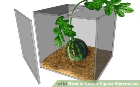 Image titled Grow a Square Watermelon Step 3