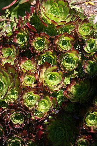 Aeonium 'Blushing Beauty' | This Aeonium hybrid does a color… | Flickr