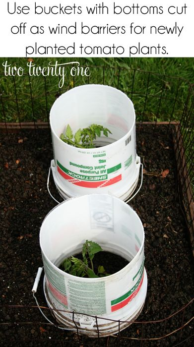 Great tip for protecting young tomato plants from wind!