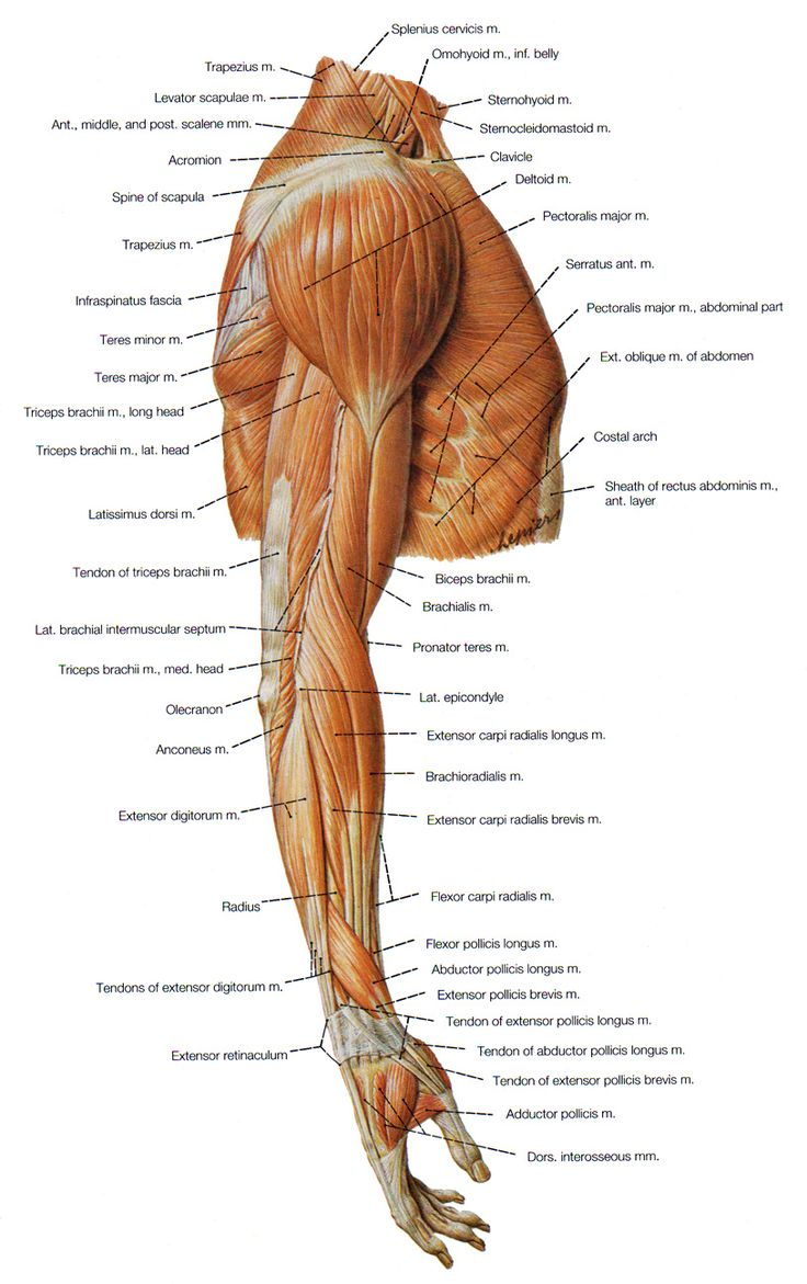muscles of the shoulder, the arm and the forearm lateral view