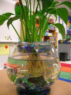 How to grow a lily in your fish bowl
