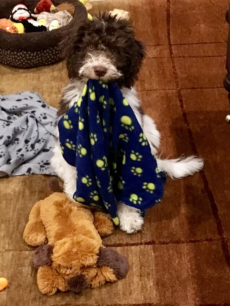 Pin by Maria Benitez on Party Goldendoodles Goldendoodle