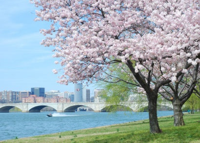 The Cherry Blossom's Meaning - Life123