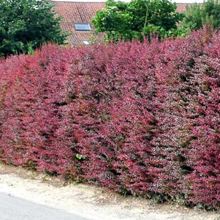 Red Berberis Hedging