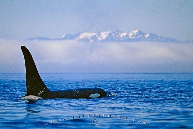 Killer Whale Scientific Name Orcinus Orca | Photo, Information