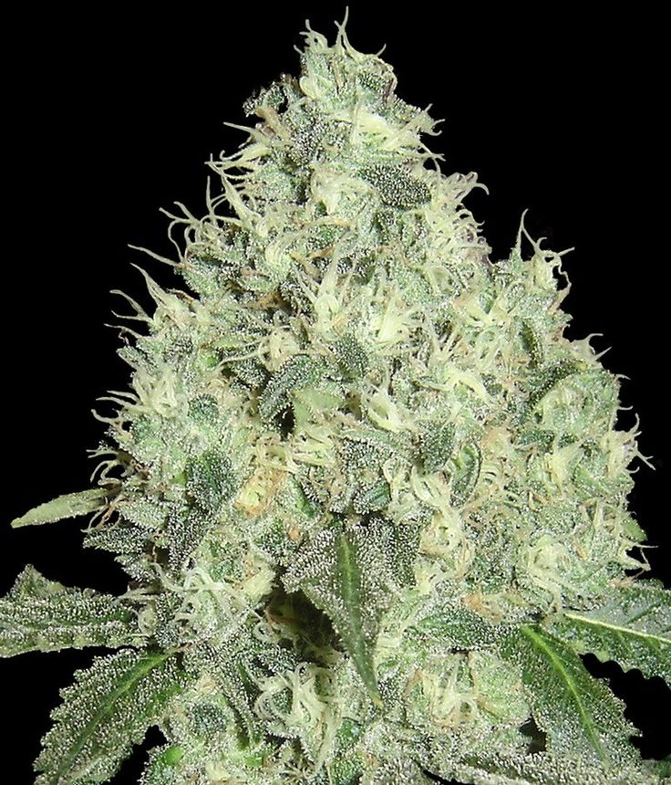 91 Krypt Regular Seeds - Limited Collection by the cannabis breeder DNA Genetics, is a Photoperiod Regular marijuana strain.This Mostly Indica strain produces a High 500-600 g/m2 yield.This strain has Chem 91' X Capt. Krypt OG Genetics. It has a High (15-20%) THC Content. The CBD content of the strain is Unknown.This strain can be used to treat a variety of medical conditions including, Lack of Appetite. The user can benefit from a Medicinal properties including strength as well as hunger…